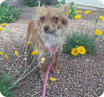 Chihuahua Mix Dog for adoption in Las Vegas, Nevada - Sunshine
