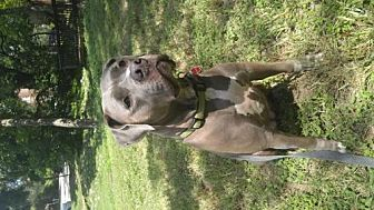 American Pit Bull Terrier Dog for adoption in Fulton, Missouri - Paper - Texas