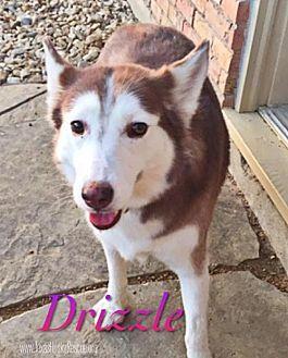 Siberian Husky Dog for adoption in Carrollton, Texas - Drizzle