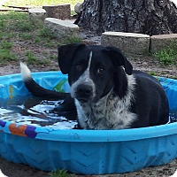 Australian Shepherd/Hound (Unknown Type) Mix Dog for adoption in Snow Hill, North Carolina - Jessica