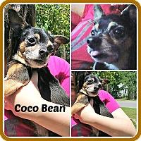 Adopt A Pet :: COCO BEAN - Malvern, AR