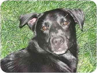 Labrador Retriever Mix Puppy for adoption in Evergreen, Colorado - Chet