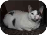 Domestic Shorthair Cat for adoption in Cleveland, Ohio - Bette Davis