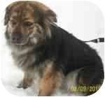 Sheltie, Shetland Sheepdog/Chow Chow Mix Dog for adoption in Plainfield, Illinois - Rusty
