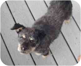 Terrier (Unknown Type, Small)/Australian Terrier Mix Dog for adoption in Encino, California - PIRATE