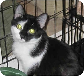 Domestic Shorthair Kitten for adoption in Catasauqua, Pennsylvania - Patches