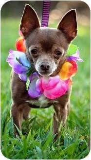Chihuahua Dog for adoption in Portsmouth, Rhode Island - Tiffany- w/video!