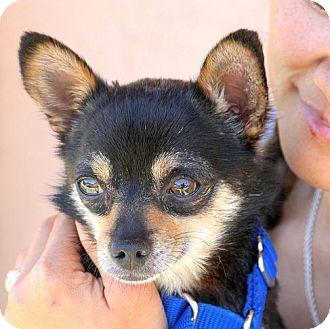 Chihuahua Dog for adoption in Berkeley, California - Stuart