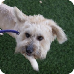 Lhasa Apso Mix Dog for adoption in Eatontown, New Jersey - Bob Marley