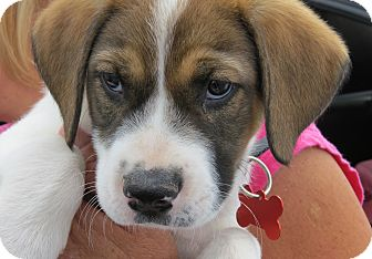 Australian Shepherd/Border Collie Mix Puppy for adoption in Scottsdale, Arizona - Danielle