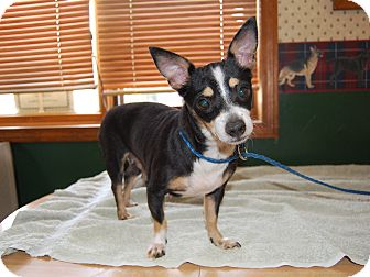 Chihuahua Mix Dog for adoption in North Judson, Indiana - Sugar Bee