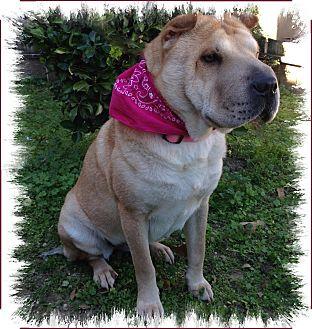 Shar Pei Dog for adoption in Houston, Texas - Tango