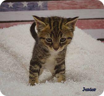 Domestic Mediumhair Kitten for adoption in Lincoln, Nebraska - JUNIOR