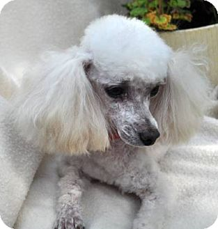 Poodle (Toy or Tea Cup) Dog for adoption in Elk River, Minnesota - FRENCHIE