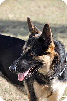 German Shepherd Dog Dog for adoption in Dripping Springs, Texas - Lexi