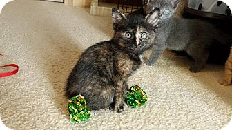Domestic Shorthair Kitten for adoption in Naperville, Illinois - Clover