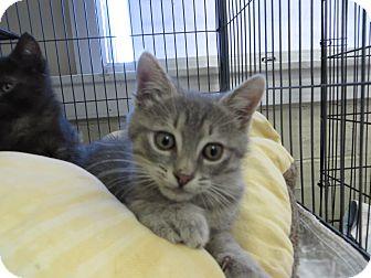 Domestic Shorthair Kitten for adoption in Middletown, New York - Witten