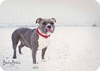 American Pit Bull Terrier Mix Dog for adoption in Sauk Rapids, Minnesota - Gerdie