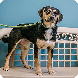 Shepherd (Unknown Type)/Beagle Mix Dog for adoption in Staunton, Virginia - Dahlia
