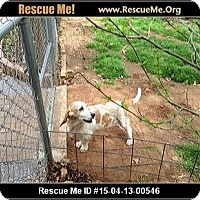 Adopt A Pet :: Sophia - Albuquerque, NM