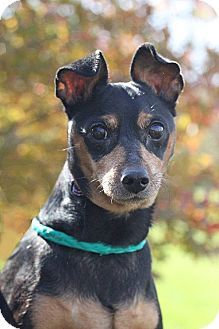 Miniature Pinscher Dog for adoption in South Haven, Michigan - Tinko
