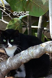 Domestic Shorthair Cat for adoption in Naples, Florida - Sushi