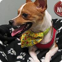 Adopt A Pet :: Rookie - South Dennis, MA