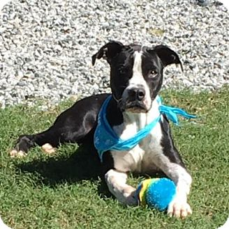 Pit Bull Terrier Mix Dog for adoption in Greensboro, North Carolina - Skipper