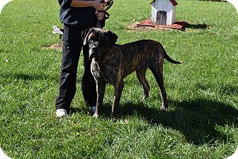Mastiff Mix Dog for adoption in North Judson, Indiana - Buck