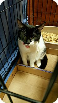 Domestic Shorthair Kitten for adoption in Statesville, North Carolina - Herman