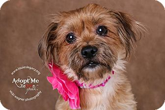 Shih Tzu Mix Dog for adoption in Cincinnati, Ohio - Cocoa Puff- WAIVED FEE