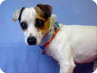 Jack Russell Terrier Mix Dog for adoption in Encino, California - Lucas