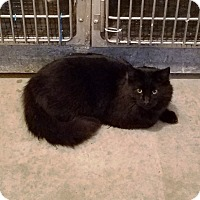 Adopt A Pet :: Betty Boop - Geneseo, IL