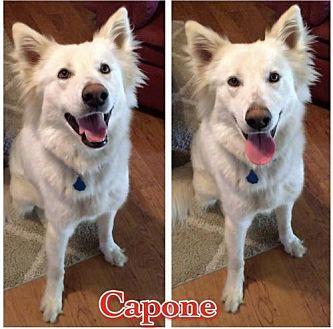 Shepherd (Unknown Type)/Husky Mix Dog for adoption in Longview, Texas - Capone