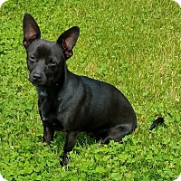 Adopt A Pet :: Batman-playful!! - Sheridan, IL