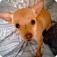 Adopt A Pet :: Tori - Gilbert, AZ