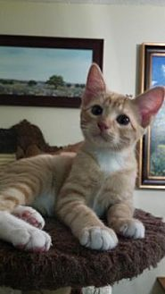 Domestic Shorthair/Domestic Shorthair Mix Kitten for adoption in Bulverde, Texas - Freddy 2