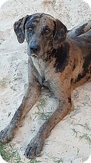 Catahoula Leopard Dog Mix Dog for adoption in Denver, Colorado - Janie