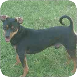 Miniature Pinscher Mix Dog for adoption in Greensboro, North Carolina - Half Pint