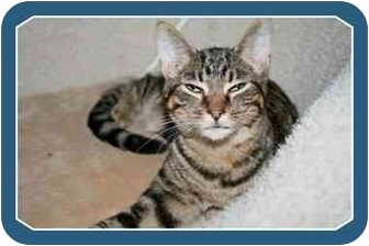 Domestic Shorthair Cat for adoption in Sterling Heights, Michigan - Handsome  ADOPTED!