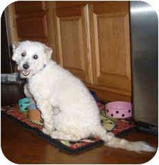 Bichon Frise Mix Dog for adoption in La Costa, California - Mallory