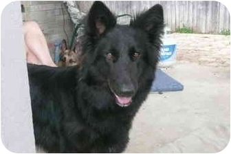 German Shepherd Dog/German Shepherd Dog Mix Dog for adoption in Dripping Springs, Texas - Bear