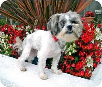 Shih Tzu/Maltese Mix Dog for adoption in Los Angeles, California - TIKA