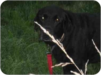Labrador Retriever Dog for adoption in Loudonville, New York - Scotty