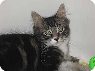 Domestic Longhair Kitten for adoption in Speonk, New York - Ade