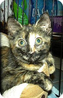 American Shorthair Kitten for adoption in Tampa, Florida - Dasani