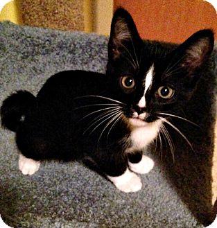 Domestic Shorthair Kitten for adoption in Seminole, Florida - Roman