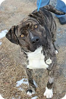 American Staffordshire Terrier Mix Dog for adoption in Charlotte, North Carolina - Rowan