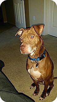 Italian Greyhound/Pit Bull Terrier Mix Dog for adoption in Kaufman, Texas - Rusty