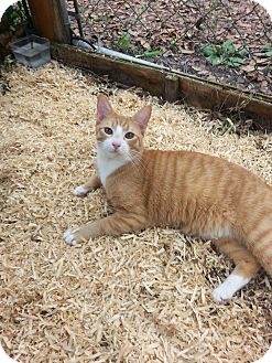 Domestic Shorthair Kitten for adoption in Weeki Wachee, Florida - Nibbles!